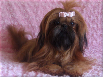 Scarlet is co-owned with Holy Shih Tzu , Burleson, Texas